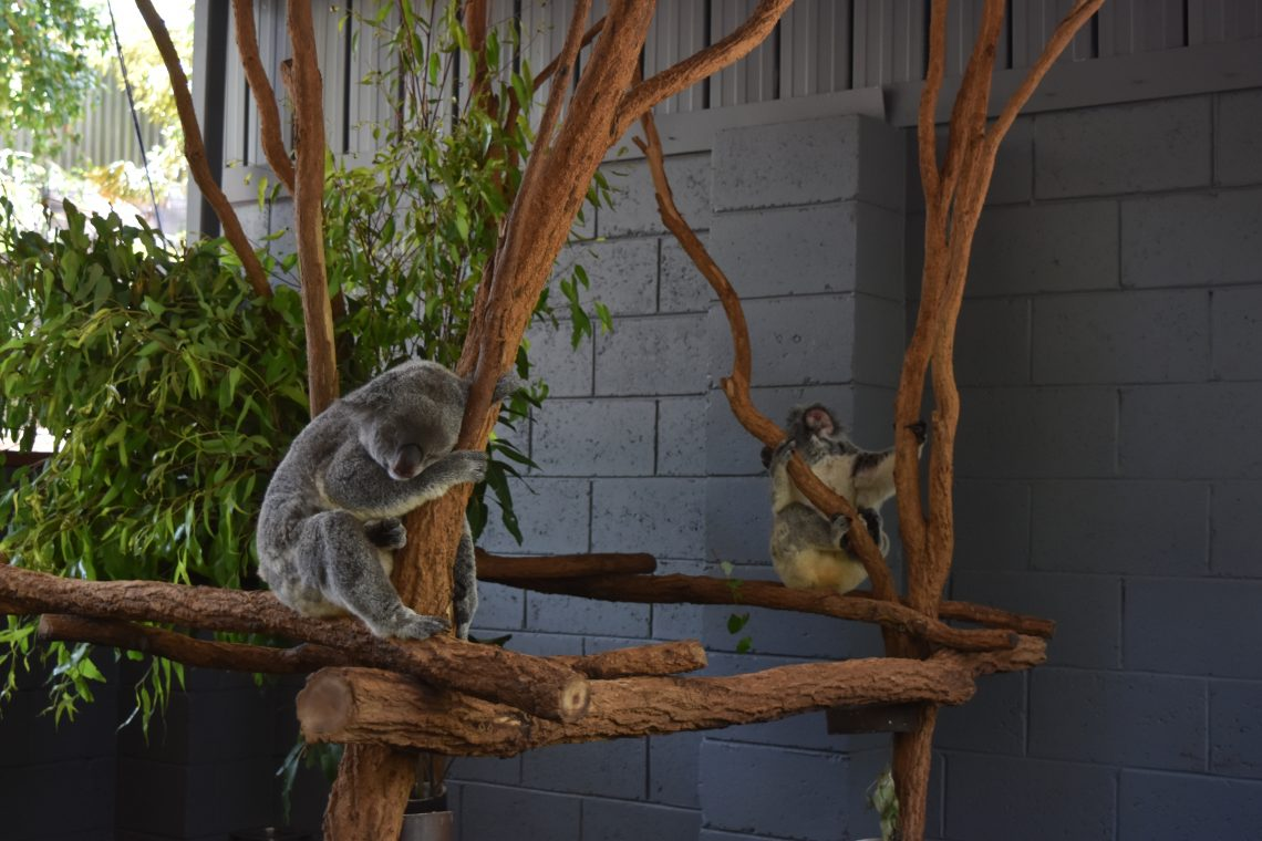Bucket List Pet a Koala